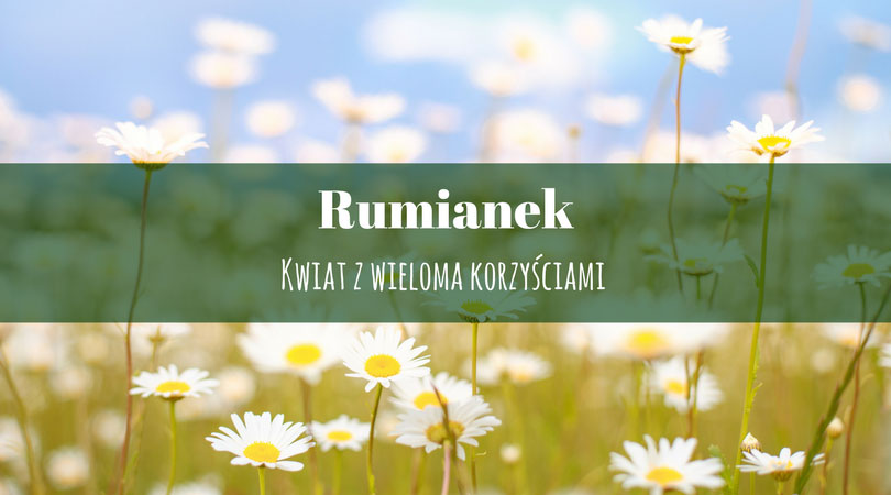 Rumianek – kwiat z wieloma korzyściami